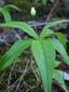 Trientale boréale : 4- Jeune fleur