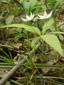 Trientale boréale : 5- Plante en fleur