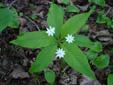 Trientale boréale : 8- Plante en fleur