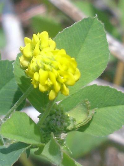 Trèfle doré (Trifolium aureum)