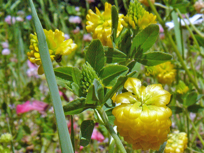 Yellow clover (Trifolium aureum) : Flower-heads and leaves