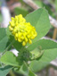 Yellow clover : 1- Flowering plant