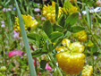 Yellow clover : 2- Flower-heads and leaves