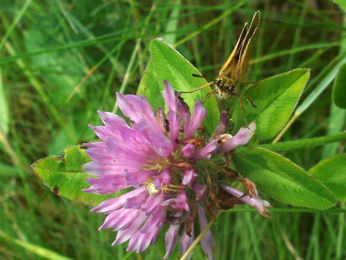 Red Clover (Trifolium pratense) : Flower