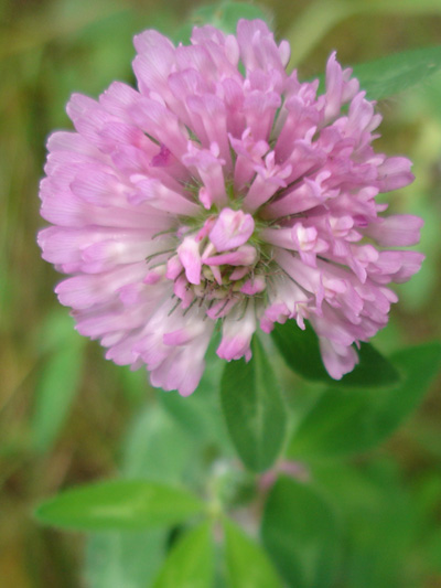 Trefle rouge (Trifolium pratense) Fleur