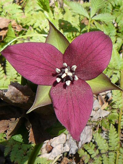 Red trillium (Trillium erectum) : Flower