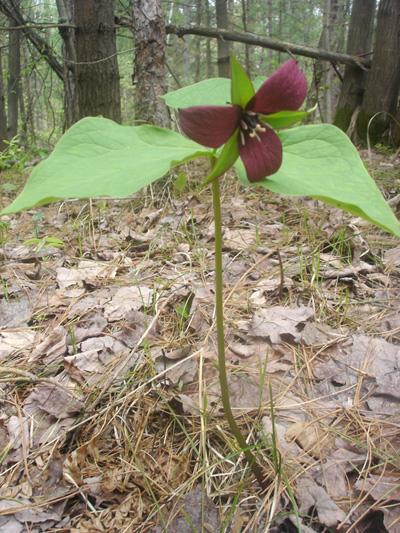 Red trillium (Trillium erectum) : Flowering plant