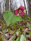 Red trillium : 10- Flowering plant