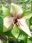 Red trillium : 11- Withish flower