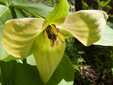 Red trillium : 12- Yellowhish flower