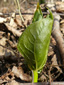 Red trillium : 4- Young plant
