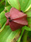 Red trillium : 9- Fruit
