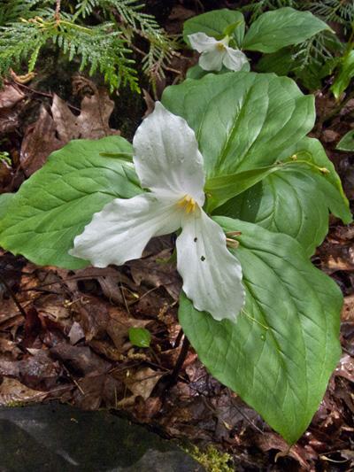White trillium (Trillium grandiflorum) : Blooming plant