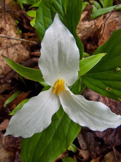 White trillium (Trillium grandiflorum) : Flower