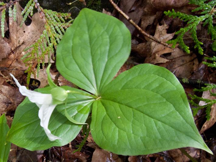 Trille blanc (Trillium grandiflorum) Feuilles