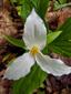 Trille blanc : 2- Fleur