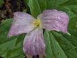 Trille blanc : 5- Fleur rosée