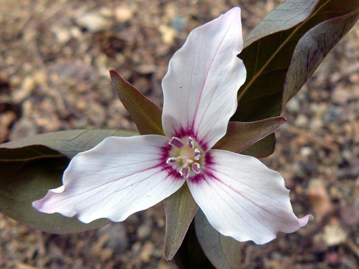 Trille ondule (Trillium undulatum) Fleur