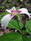 Painted Trillium : 1- Flower