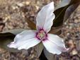 Trille ondulé : 2- Fleur