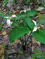 Painted Trillium : 6- Flowerinf plants