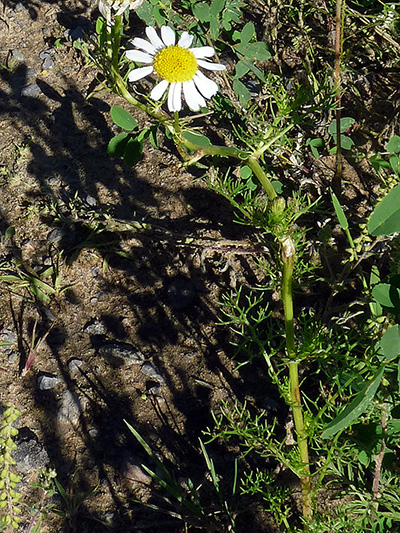 Scentless chamomile (Tripleurospermum inodorum) : Flowering plant
