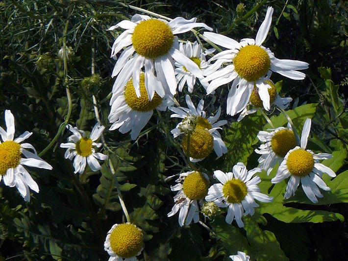 Scentless chamomile (Tripleurospermum inodorum) : Flowers