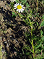 Scentless chamomile : 1- Flowering plant