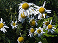 Scentless chamomile : 2- Flowers