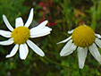 Scentless chamomile : 3- Flowers