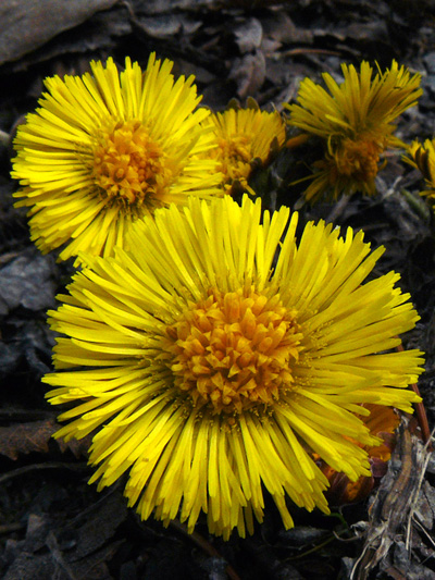 Coltsfoot (Tussilago farfara) : Flowers
