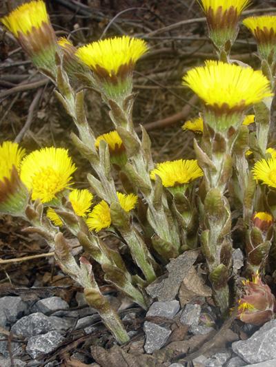 Tussilage pas-d'ane (Tussilago farfara) Fleurs entre-ouvertes