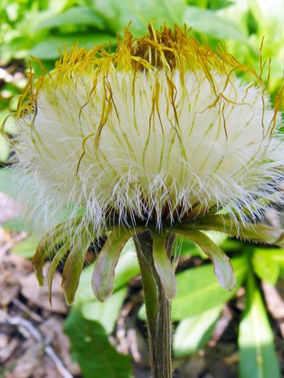 Coltsfoot (Tussilago farfara) : Fructifying plant