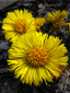 Coltsfoot : 1- Flowers