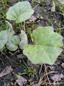 Coltsfoot : 11- Leaves
