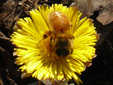 Tussilage pas-d'âne : 13- Fleur visitée par une abeille