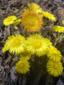 Tussilage pas-d'âne : 2- Plantes en fleurs