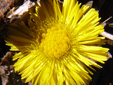 Coltsfoot : 5- Young flower