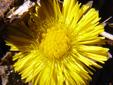 Tussilage pas-d'âne : 5- Jeune fleur