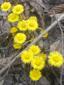 Tussilage pas-d'âne : 7- Plantes en fleurs