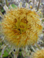 Coltsfoot : 8- Plante fructifiant