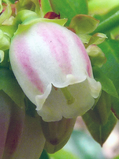 Early lowbush blueberry (Vaccinium angustifolium) : Flower