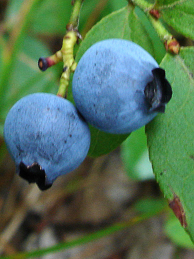 Early lowbush blueberry (Vaccinium angustifolium) : Ripped fruits