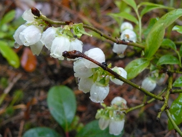Bleuet feuille-dentelee (Vaccinium angustifolium) Inflorescence