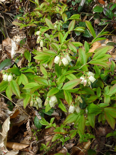 Early lowbush blueberry (Vaccinium angustifolium) : Flowering plants