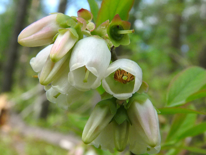 Early lowbush blueberry (Vaccinium angustifolium) : Flowers