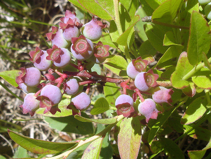 Early lowbush blueberry (Vaccinium angustifolium) : Young fruits