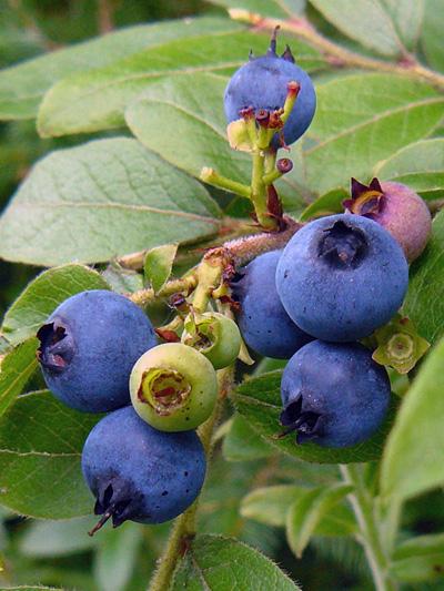 Bleuet feuille-dentelee (Vaccinium angustifolium) Fruits