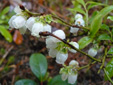 Early lowbush blueberry : 2- Inflorescence