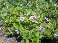 Early lowbush blueberry : 9- Plants with fruits